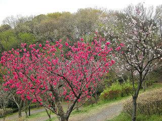 4_9近所の桜29