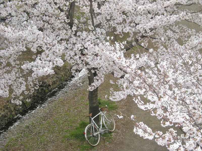4_9近所の桜32_001