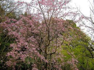 4_9近所の桜24