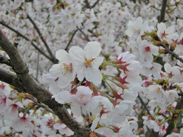 4_9近所の桜41_001