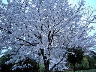 4_9近所の桜52