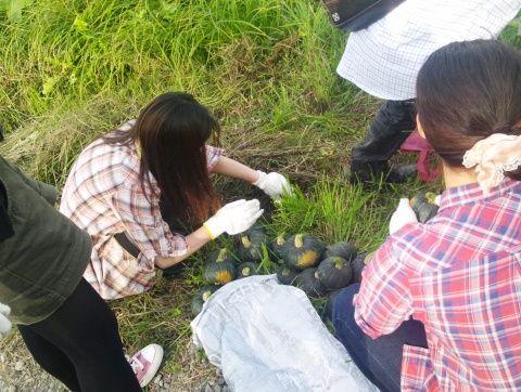 かぼちゃ収穫6