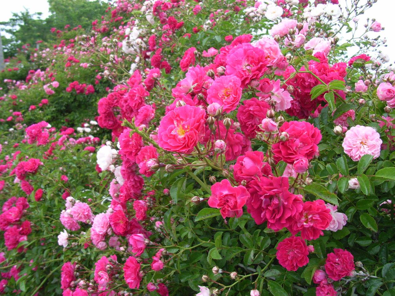 薔薇の画像 p1_33