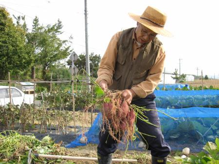 さつま芋を一株づつ掘って食べます
