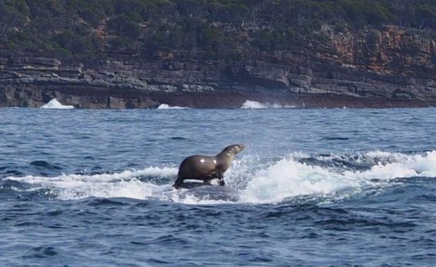 【画像】クジラの背中に乗るアザラシの写真が撮影される なぜ動物が別の動物に乗るのかネットで話題に