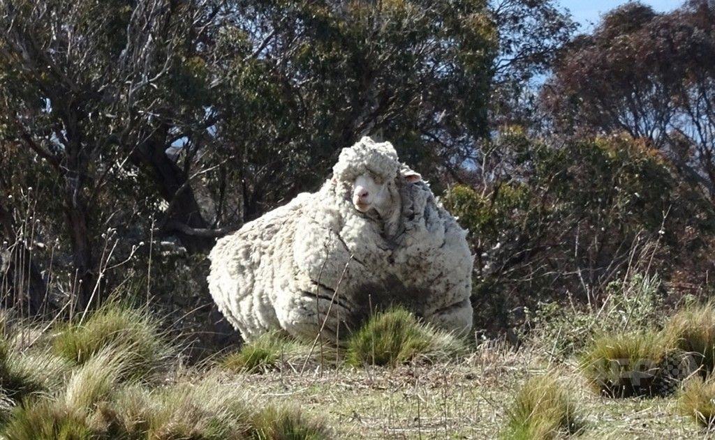 【国際】毛伸びすぎた巨大羊、豪で発見 毛刈りに全国チャンピオンが名乗り (画像あり)