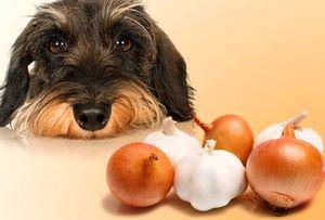【非常識】犬にタマネギを食わせている飼い主が急増中! 死ぬぞ!!!!!!!!!!!!!!!!!!!!!!!!!!!