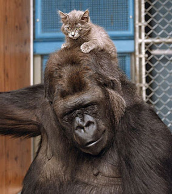 【画像】母親を密猟者にブッ殺されたゴリラを慰める森林レンジャーの画像が話題に