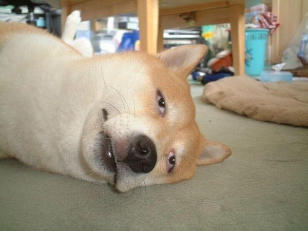 【悲壮感】ペットの犬に飼い主のハンバーガーの最後の一口をあげなかったときの独特の表情が話題へwへ