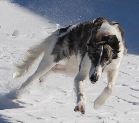 【お犬様】 ウルフドッグみたいなカッコいい犬種教えて 【勤皇犬】