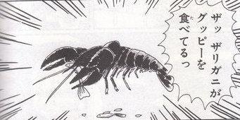 【(V)o¥o(V)】特定外来生物の大型ザリガニを駆除 栃木