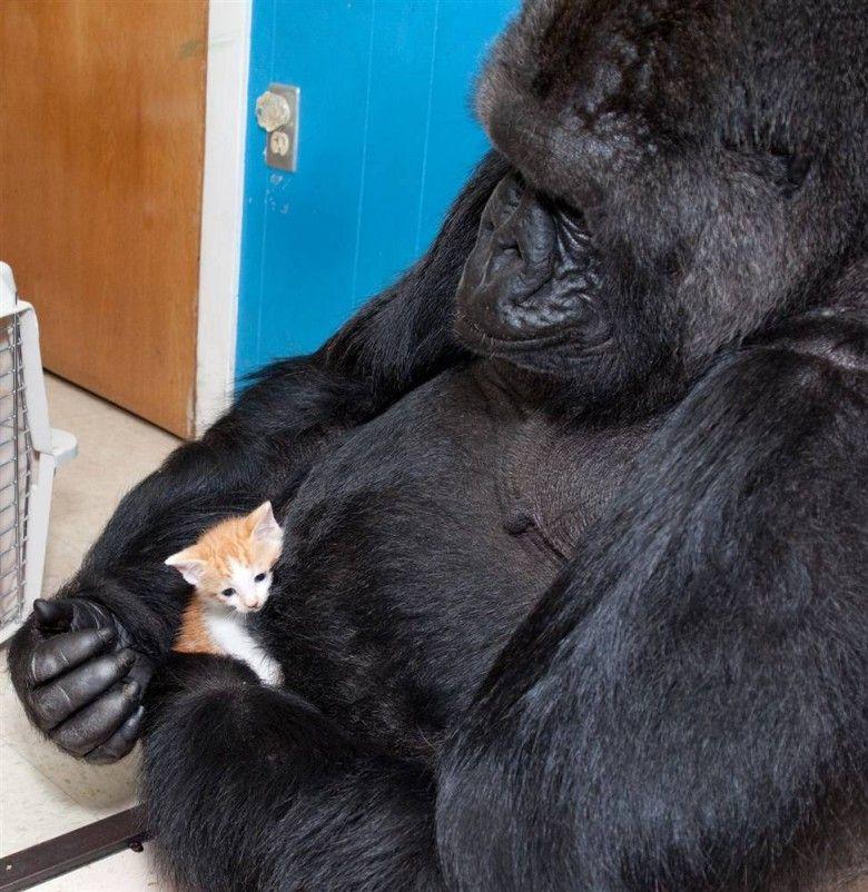 【モニタリングとちがうで!】 子ネコと遊びまくるゴリラが話題に ゴリラ基金のメッセンジャー⇇???