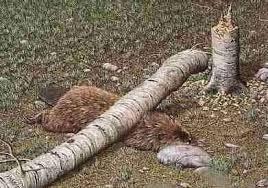 森 で 林 が 木の下敷きになって死亡
