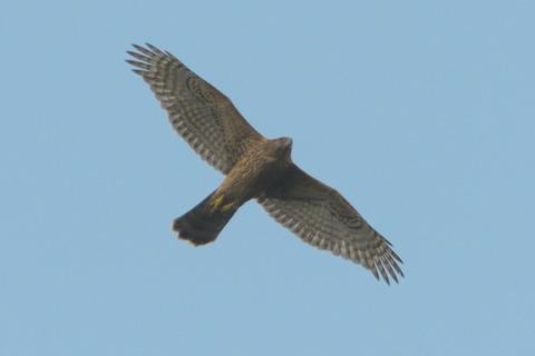 オオタカ幼鳥DSC_375318__00001