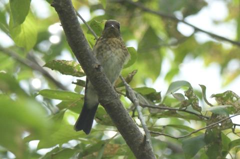 オオルリ♂幼鳥DSC_421096__00001