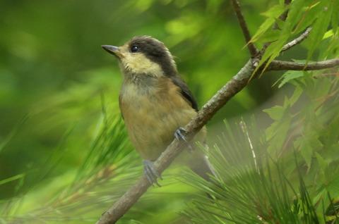 ヤマガラ幼鳥DSC_421067__00001
