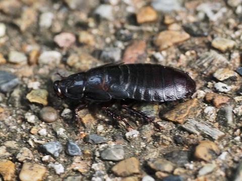 オオゴキブリ幼虫_20200804_P8040376