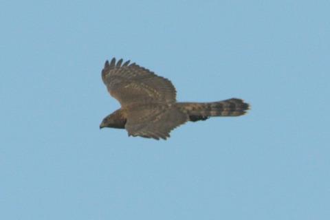 オオタカ幼鳥DSC_375301__00001