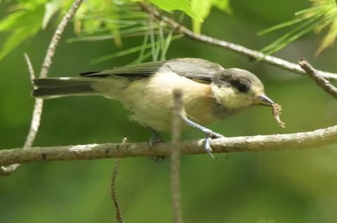 ヤマガラ幼鳥DSC_421051__00001