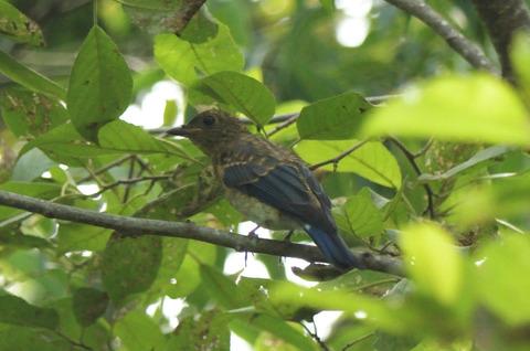 オオルリ♂幼鳥DSC_421115__00001