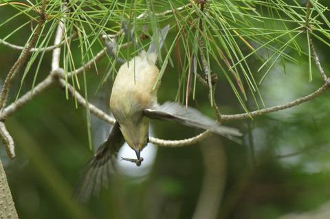 ヤマガラ幼鳥DSC_421069__00001