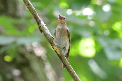 オオルリ幼鳥DSC_371945_