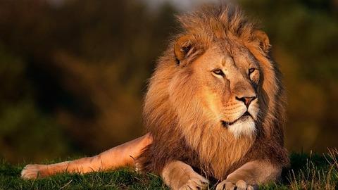 lion-794962_640