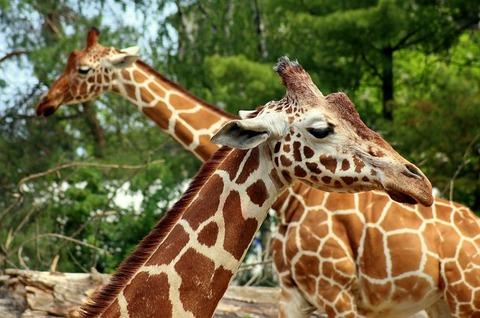giraffe-4228990_640