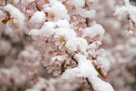 cherry-blossom-4769492_640