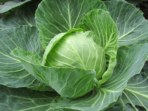 white-cabbage-2705228_640