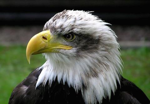 bald-eagle-62834_960_720-3