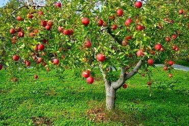 りんご畑ーイメージ写真