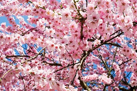 japanese-cherry-trees-3063992_640