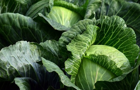 white-cabbage-2747316_640