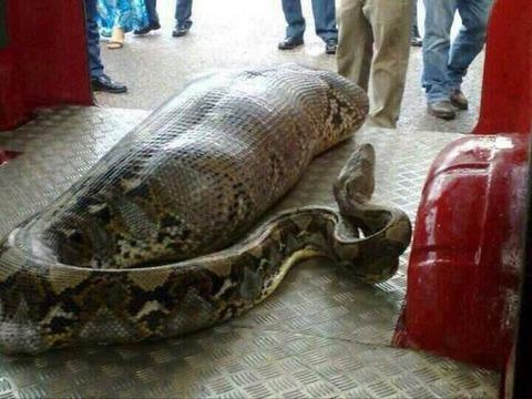 【速報】ニシキヘビ、無事に発見・・・!!!(※驚愕画像)