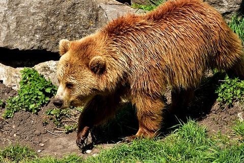 european-brown-bear-3352504_640