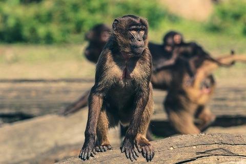 monkey-2195107_640