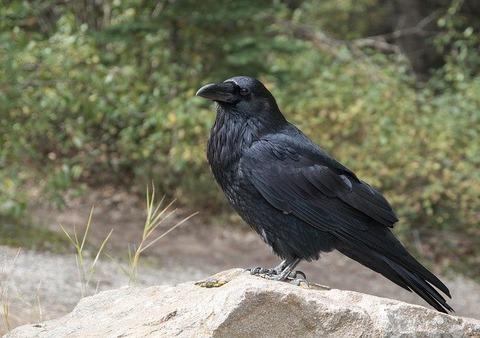 raven-2162966_640