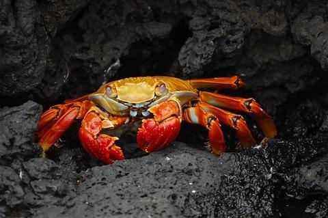 crab-63084__340