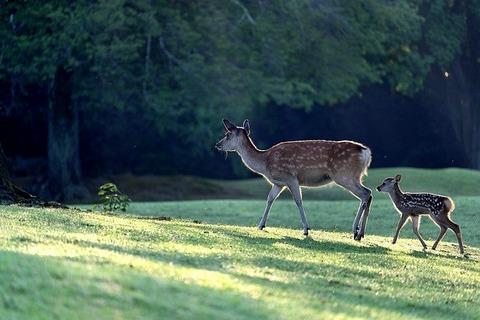 【驚愕】礼儀正しい鹿の親子が激写されるwwwwwwww動画あり