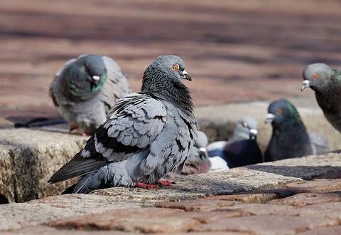 pigeons-3268990_640