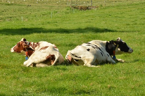 cow-1682892_640