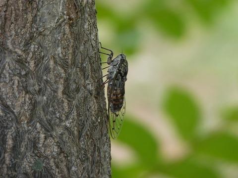 cicada-3387493_640