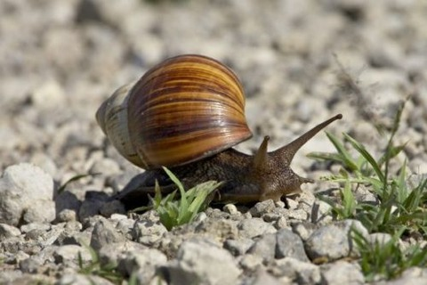 east-african-land-snail-achatina-fulica-3649316-500x333