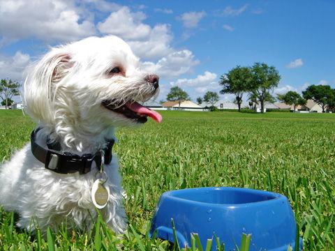 Maltese-dog