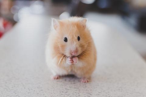 hamster-690108_640