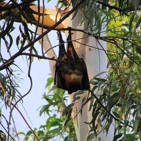 【新型コロナ】日本のコウモリに衝撃の事実判明……!!! マジかよ……