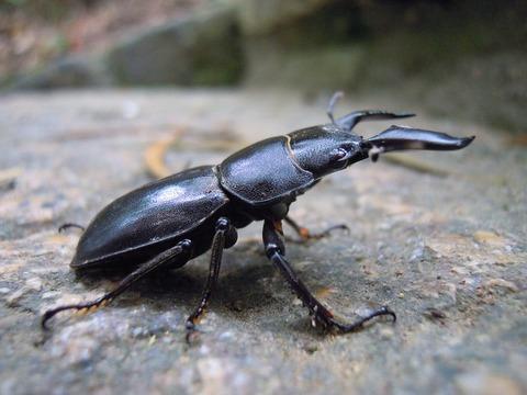 stag-beetle-830371_640