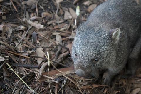 wombat-2385693_640
