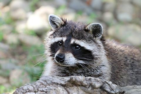 raccoon-1476504_640